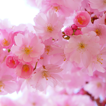 Flowers – Cherry